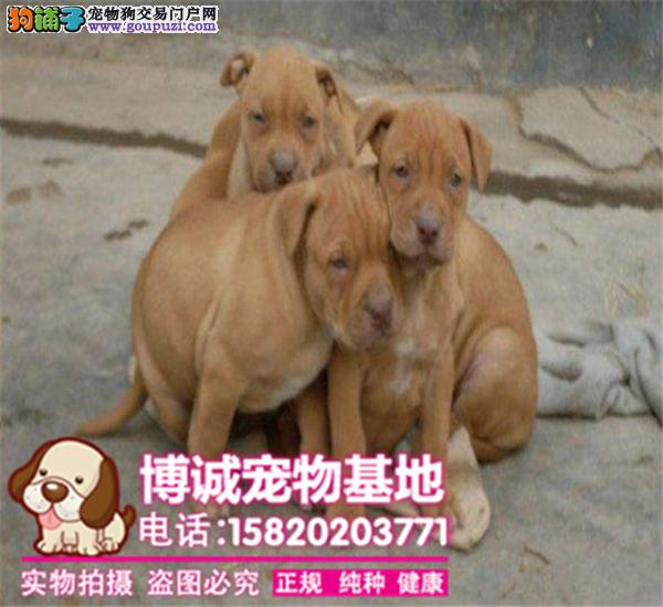 出售纯种比特、耐力最强的斗犬、比特幼犬、纯种健康