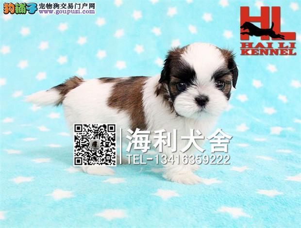 华丽精品西施犬幼犬出售 签协议 质保纯种健康