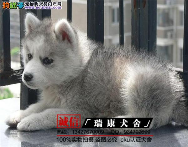纯种哈士奇幼犬、保证纯种健康 、终身质保