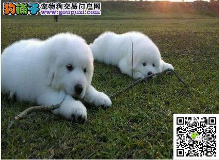 出售纯种血统健康体魄的大白熊 实体店面放心购买