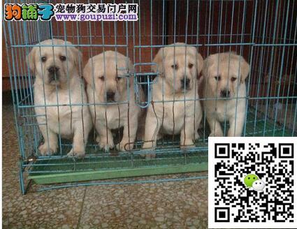 今天付款包邮、神犬小七拉布拉多幼犬导盲犬家庭伴侣犬