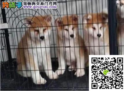 高品质纯种日系秋田犬 血统纯正 保证健康 完美售后