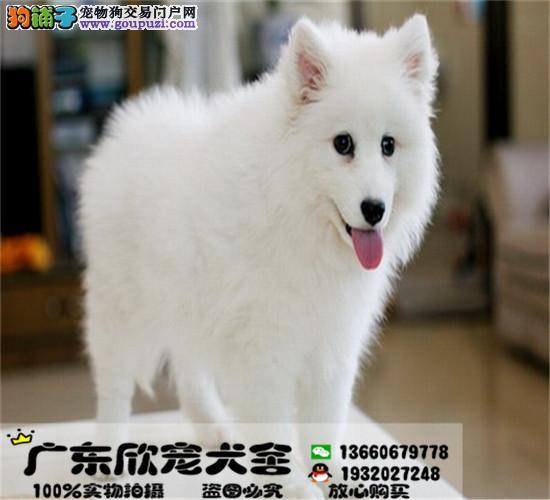血统纯正银狐幼犬、 疫苗齐全、 健康质保、 签协议
