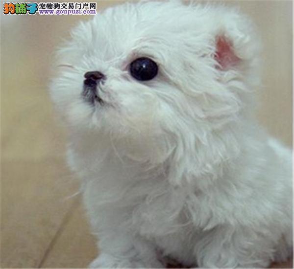 赛级马尔济斯幼犬,公母均有多只选择,提供养狗指导