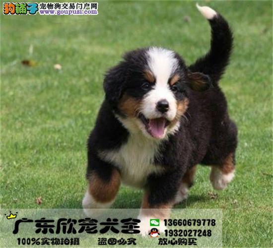 纯种伯恩山幼犬、温顺勇敢的大狗、家庭伴侣犬工作犬