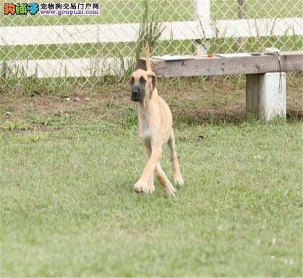 公母均有的泉州大丹犬找爸爸妈妈提供护养指导
