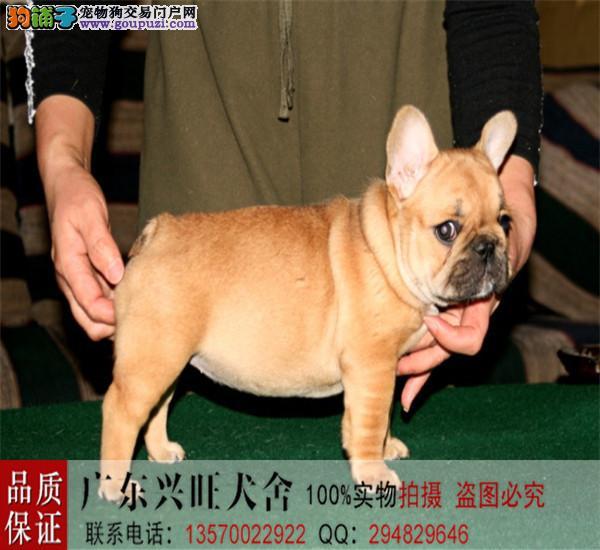 正规犬舍繁殖、诚信交易、纯种法国斗牛犬、可签协议