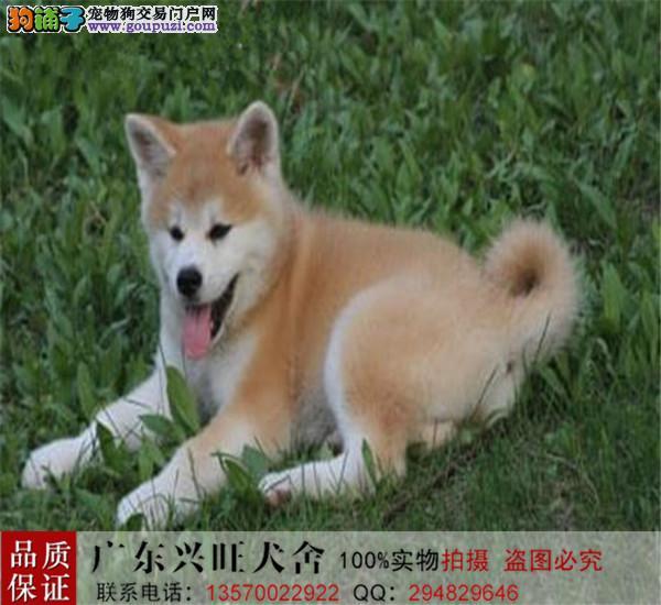 纯种秋田幼犬、 血统正宗、品相好秋田犬、 疫苗齐全