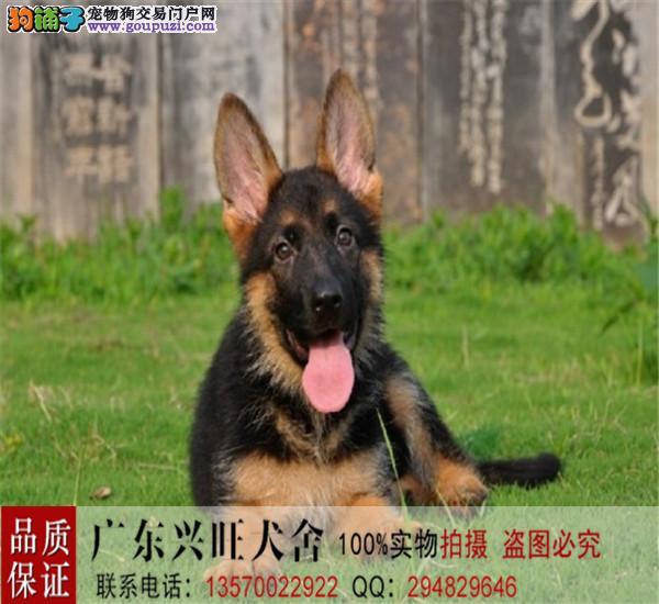 直销黑背警犬、德牧、工作犬、可现场看狗、售后签协议