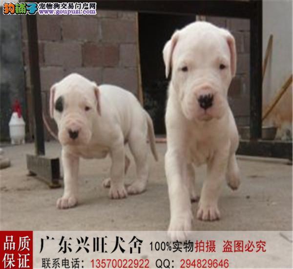 杜高猎犬,纯种签协议,可以空运,保售后,签协议