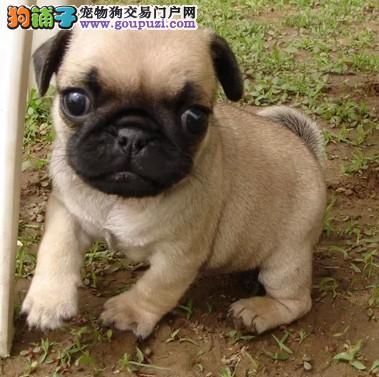 天津最大的巴哥犬基地 完美售后天津周边免费送货