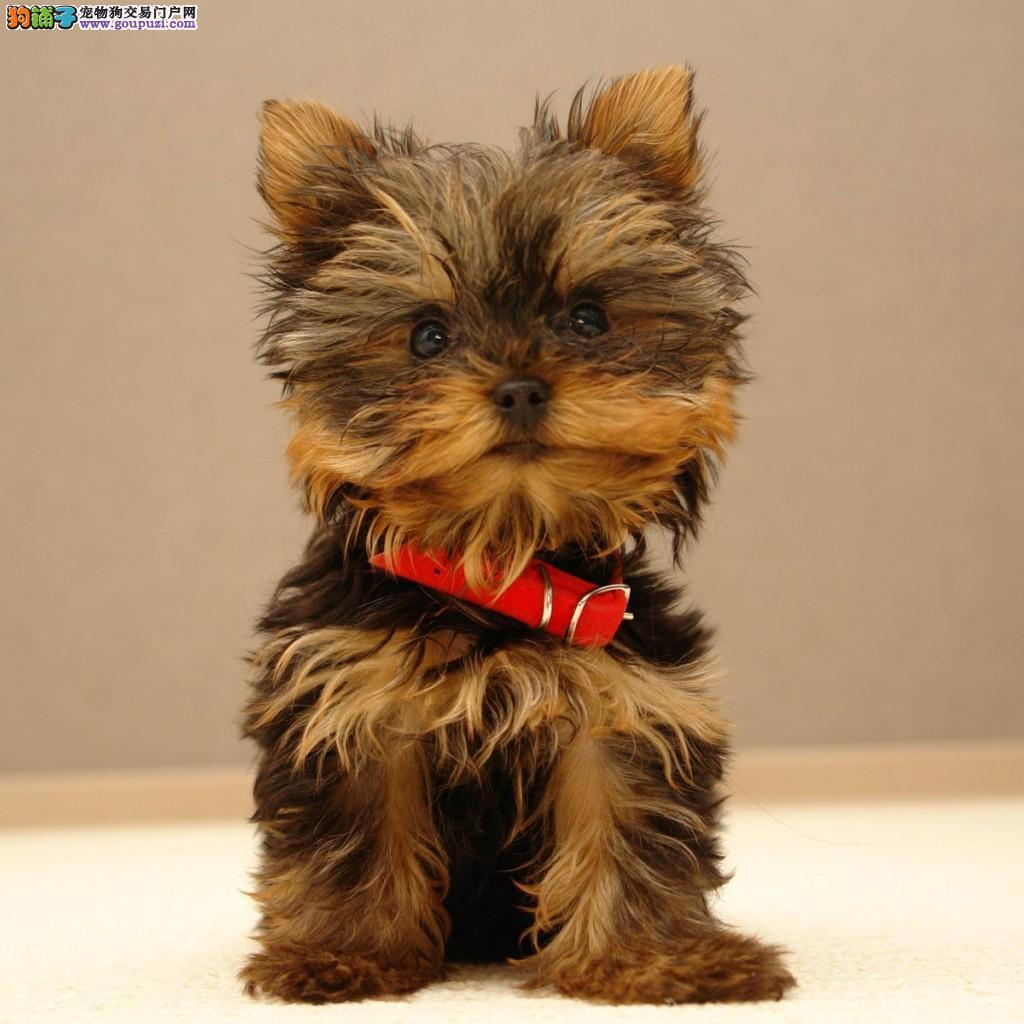 出售约克夏幼犬 高端大气精典品质 绝对信誉保证