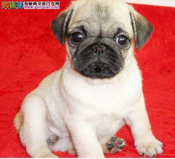 CKU认证犬舍出售高品质巴哥犬包养活包退换