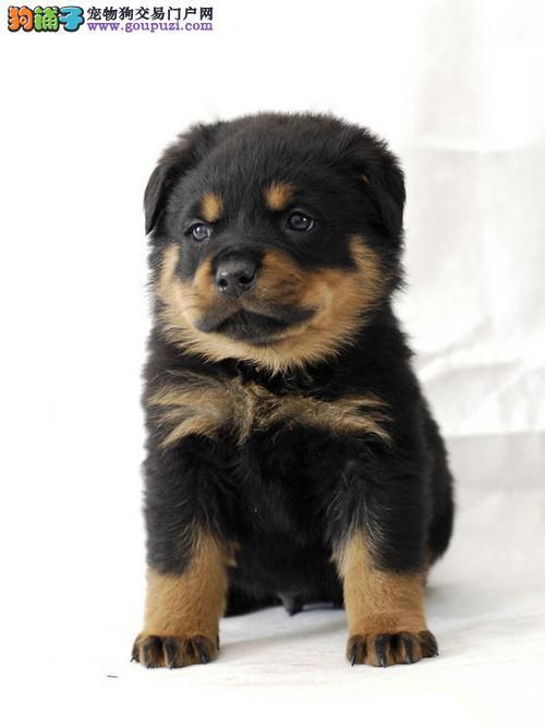 罗威纳专业繁殖区 高品质幼犬待售中 三个月质保