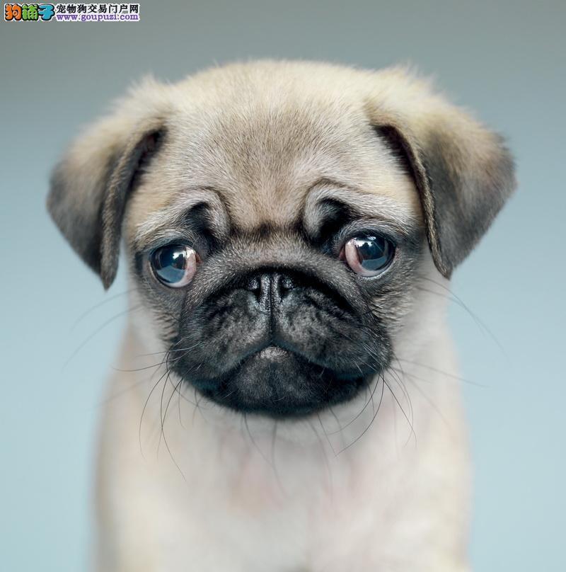 可爱八哥犬 纯种八哥犬出售喜欢的联系我