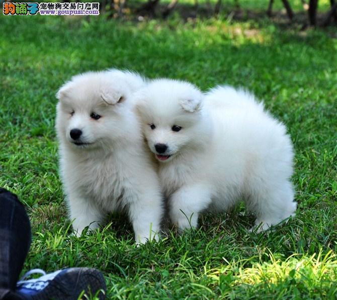 萨摩耶雪橇犬 微笑天使萨摩耶幼犬火热出售中