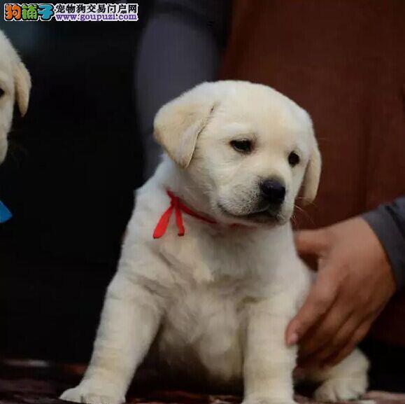 沈阳出售拉布拉多犬 纯种拉布拉多保证品质保证健康