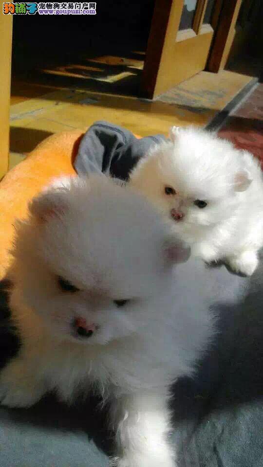 沈阳出售博美犬 纯种正宗哈多利球体博美 包健康