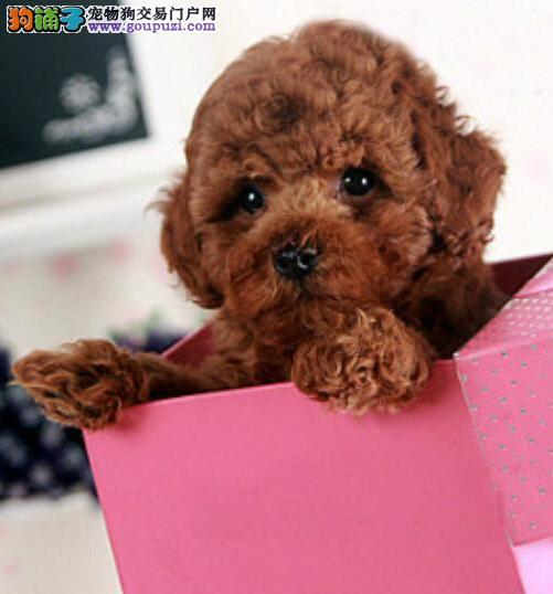 沈阳出售泰迪犬 纯种微小玩具泰迪 标准体泰迪 包健康