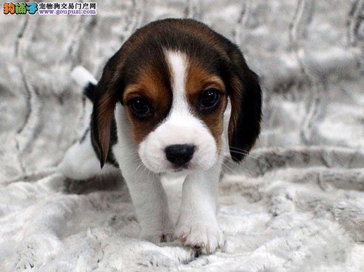 上门六折 出售家养比格犬纯种犬疫苗做好