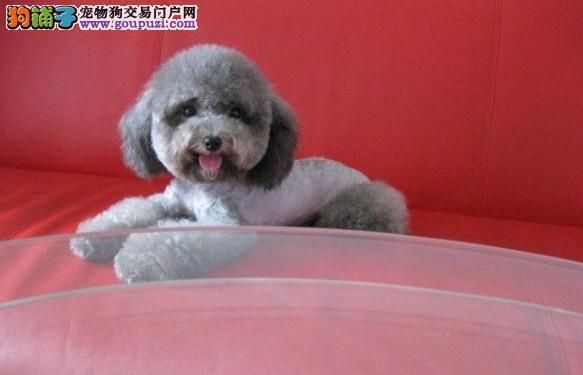 纯种泰迪幼犬 玩具体 颜色齐全 也有灰色泰迪出售