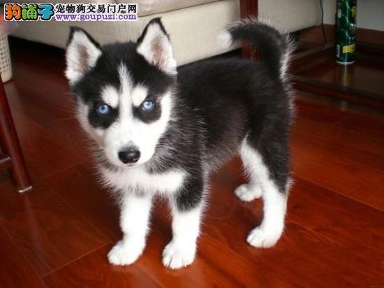 三火蓝眼 堪称最帅名犬 高品质哈士奇幼犬待售