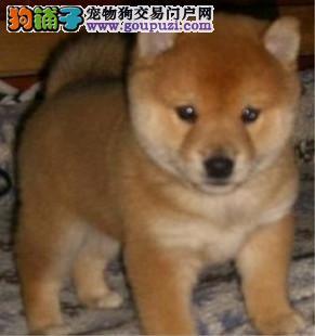 出售纯种家养柴犬 健康多只挑选 质量保证 正宗血系
