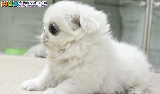 专业繁殖 京巴幼犬 购买有保证