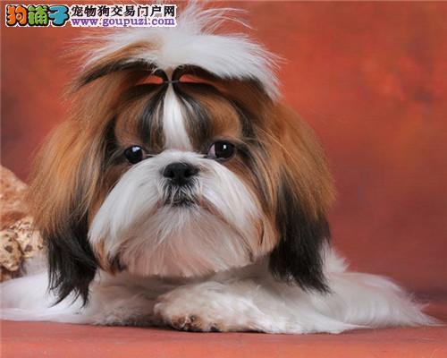 CKU犬舍认证出售高品质西施犬品质保障可全国送货
