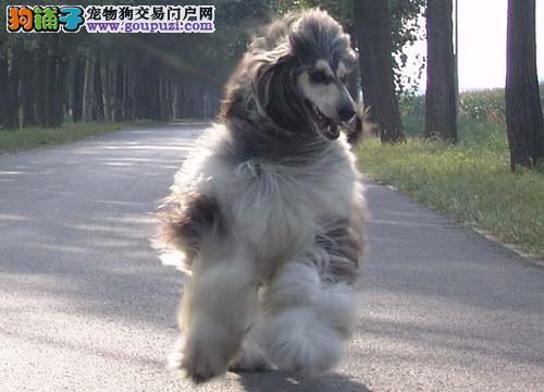 精品阿富汗猎犬幼犬一对一视频服务买着放心期待您的光临