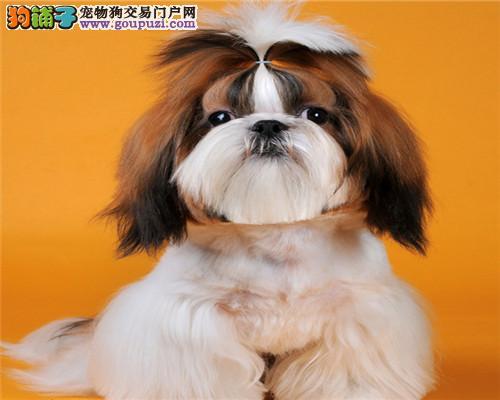 西施犬南京最大的正规犬舍完美售后微信视频看狗
