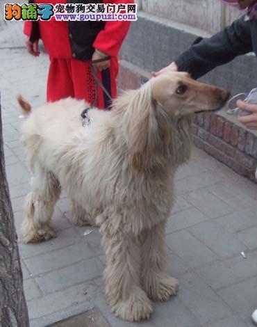养殖场直销完美品相的阿富汗猎犬欢迎您的指导