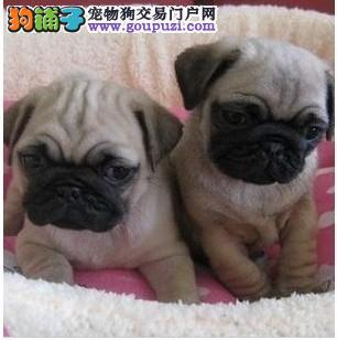 家养多只西城巴哥犬宝宝出售中价格美丽品质优良