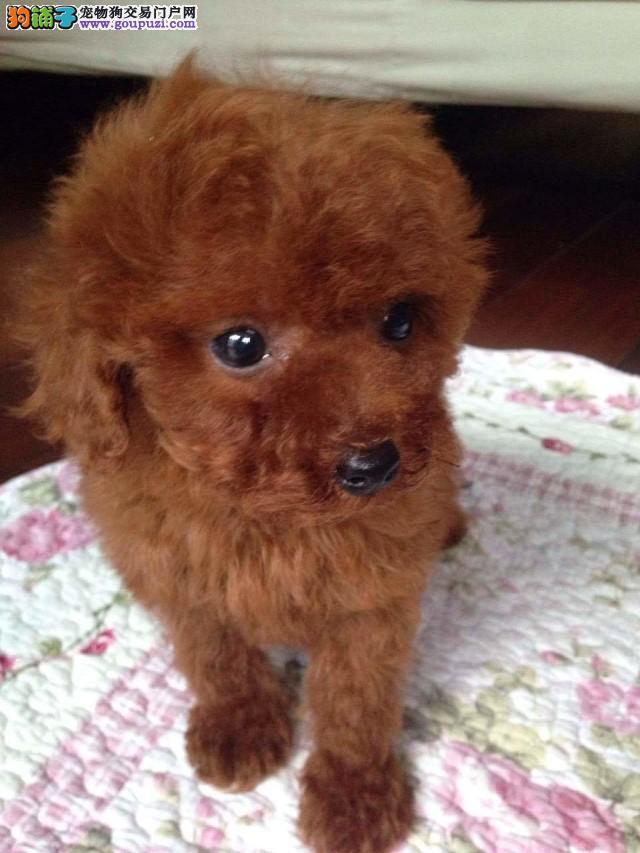乌鲁木齐哪里有卖泰迪,哪里买泰迪犬 可爱型?