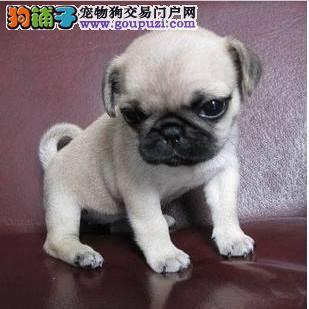 出售自家繁殖的八哥幼犬