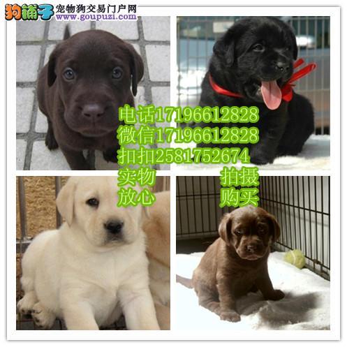 出售纯种拉布拉多犬品相好健康有保障 可签购犬协议