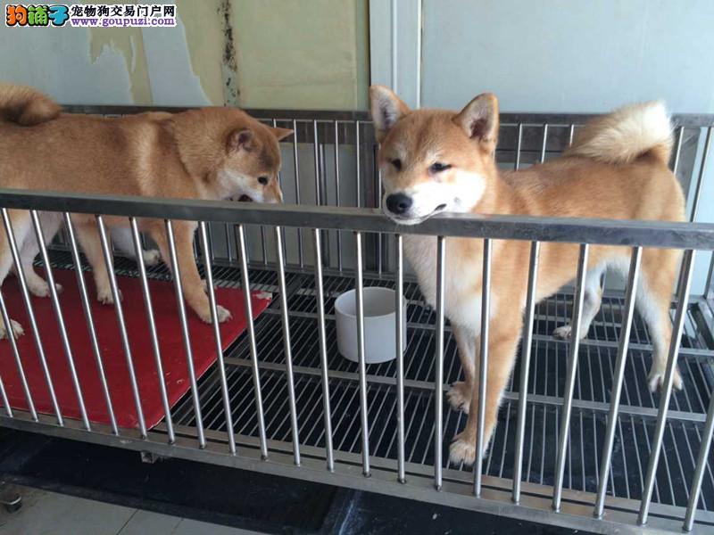 精品日系柴犬,正宗血统,签合同保纯保健康 喂养指导