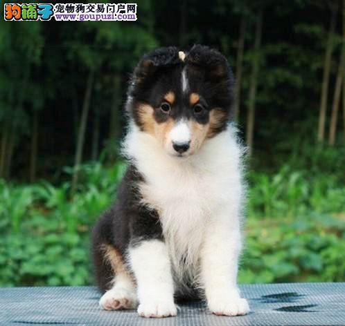广东买狗狗到哪好 华达名犬是您最佳选择 喜乐蒂有卖