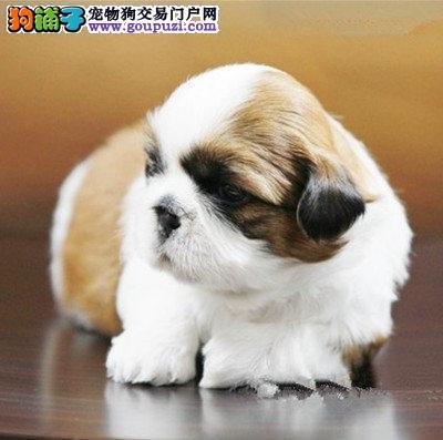 长沙自家繁殖的纯种西施犬找主人均有三证保障