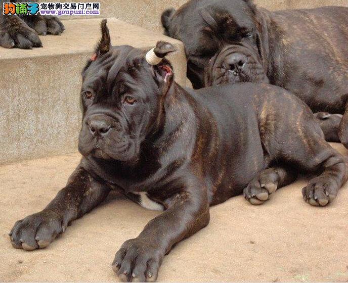 进口纯种霸气十足卡斯罗顶级护卫犬猛犬幼犬出售