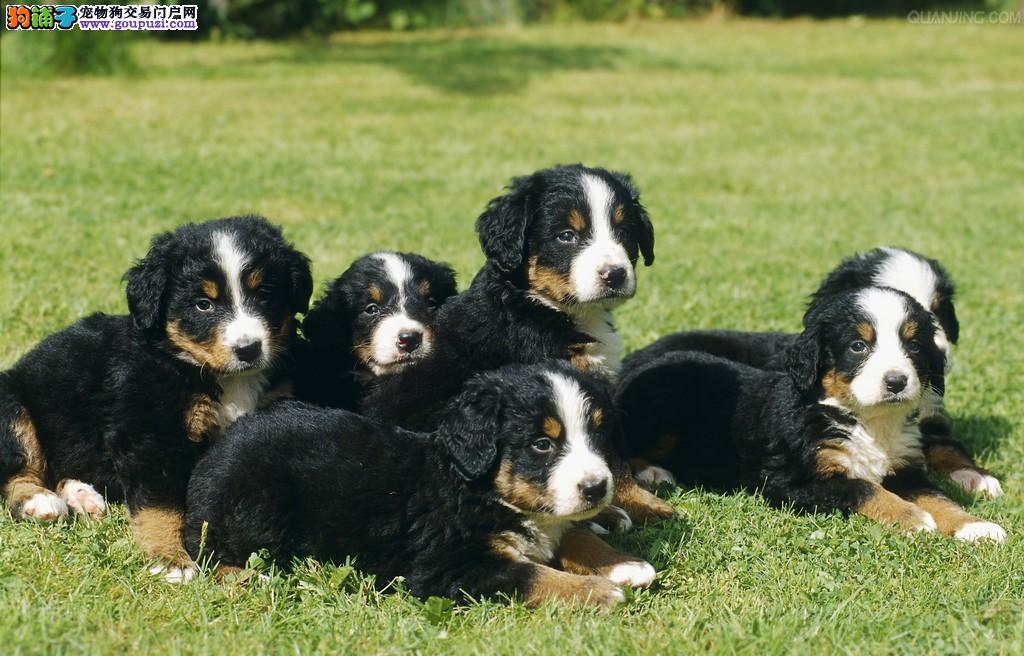 三亚CKU认证犬舍出售高品质伯恩山微信看狗真实照片包纯