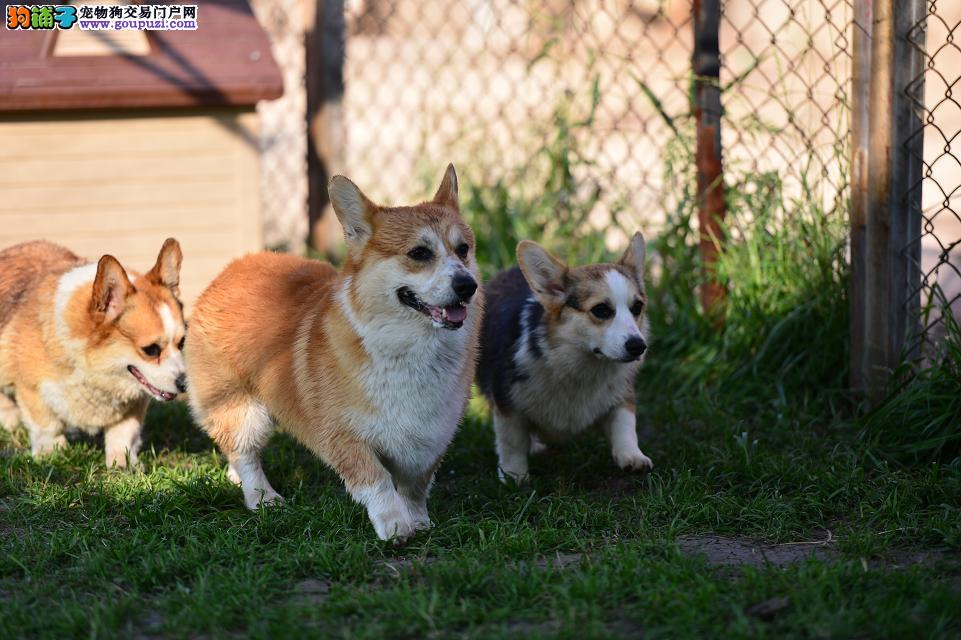 精品小短腿柯基幼犬、纯种健康、证书齐全,签订协议