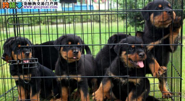 工作犬防暴犬大型护卫犬这就是罗威纳,血统犬出售