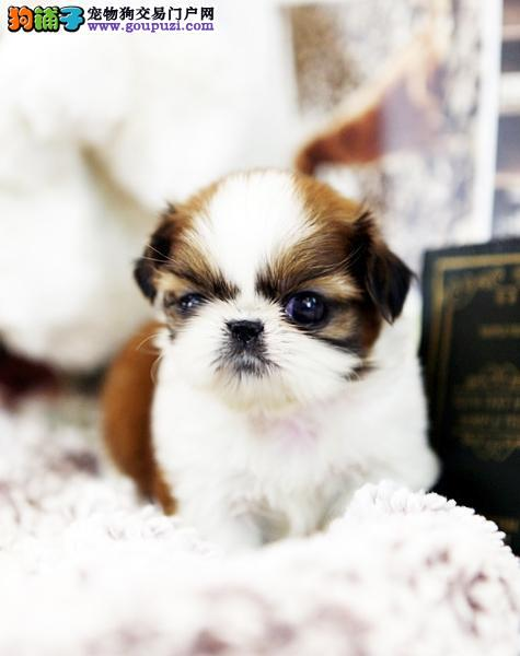 CKU认证犬舍 专业出售极品 西施犬幼犬实物拍摄直接视频