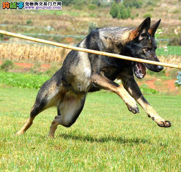 赛级品相昆明犬幼犬低价出售市内免费送货