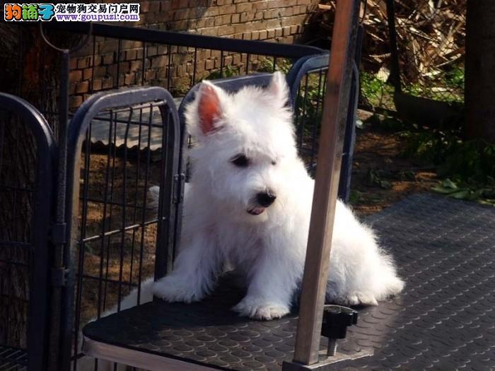 赛级纯种西高地白梗幼犬 西高地价格优惠来家看狗挑选