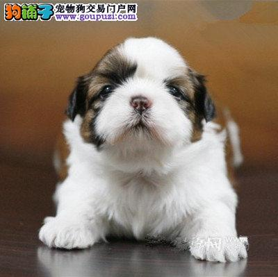 长沙热卖西施犬多只挑选视频看狗签订协议包细小犬瘟热