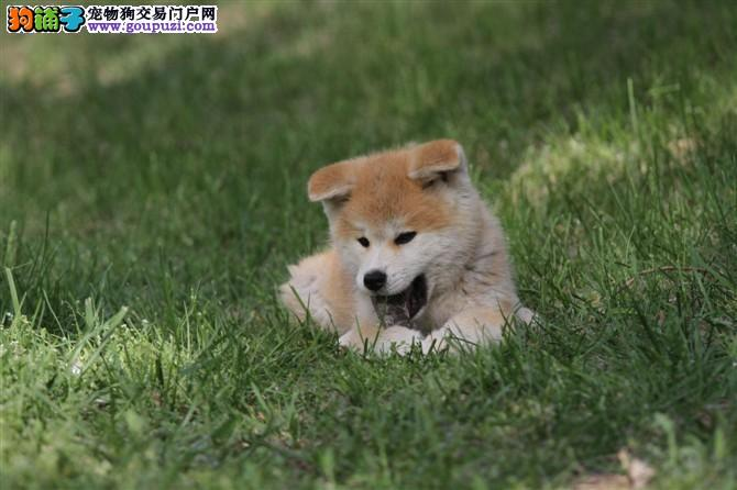 极品秋田犬在这里、优惠纯种和健康、CKU认证犬业