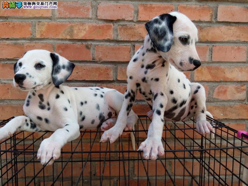 斑点狗出售、品相漂亮、自家繁殖、可看种公种母 售后