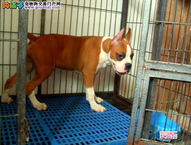 出售高大威猛的拳师犬,多年信誉为基础,值得信赖 售后